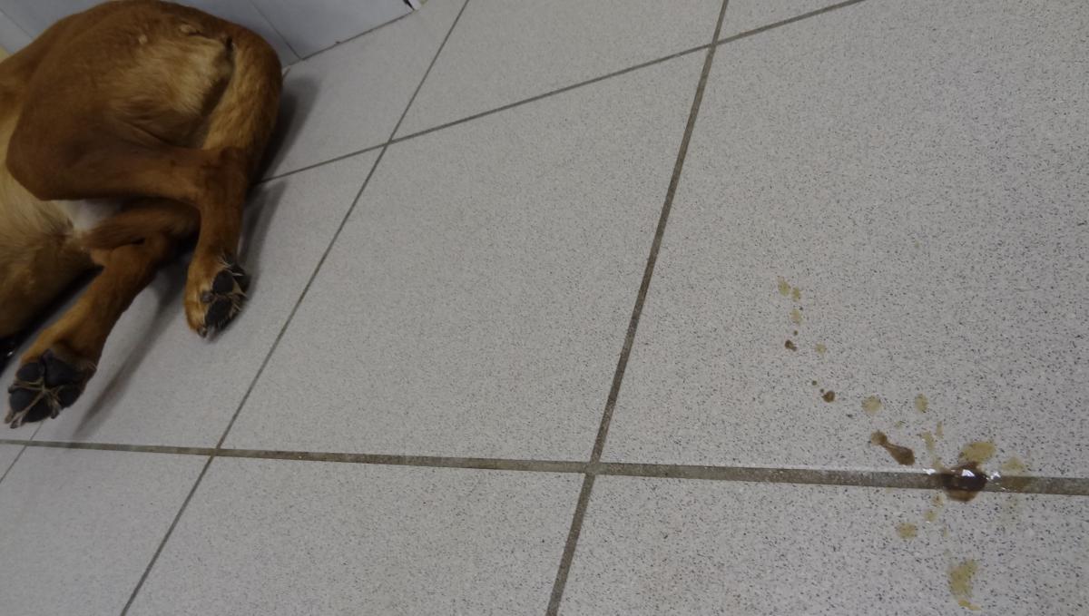 tumeurs périanales chien