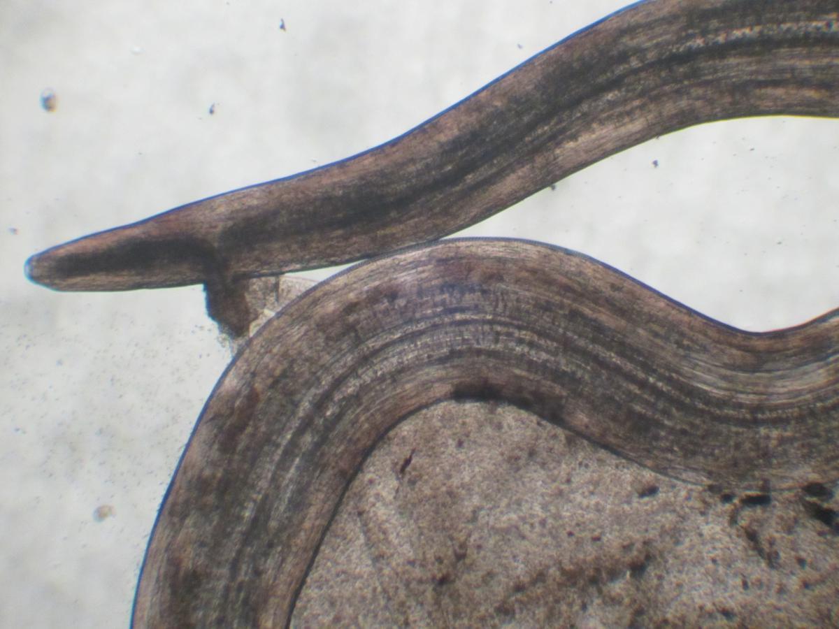 Meilleur traitement naturel pour les parasites intestinaux for Eliminer les vers