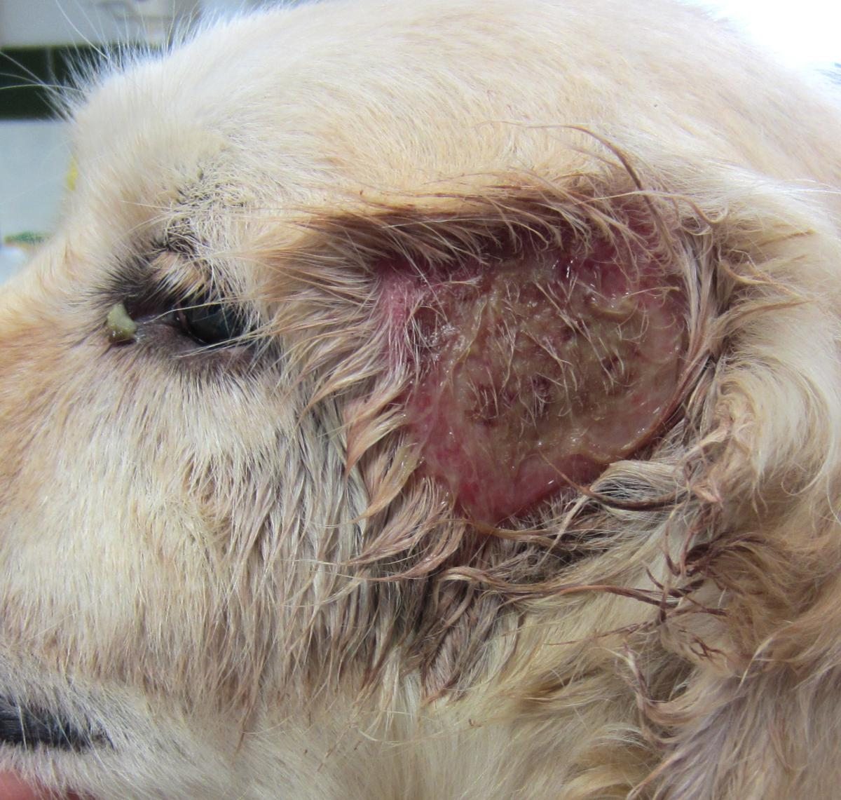 infection oreille chien traitement maison - 28 images
