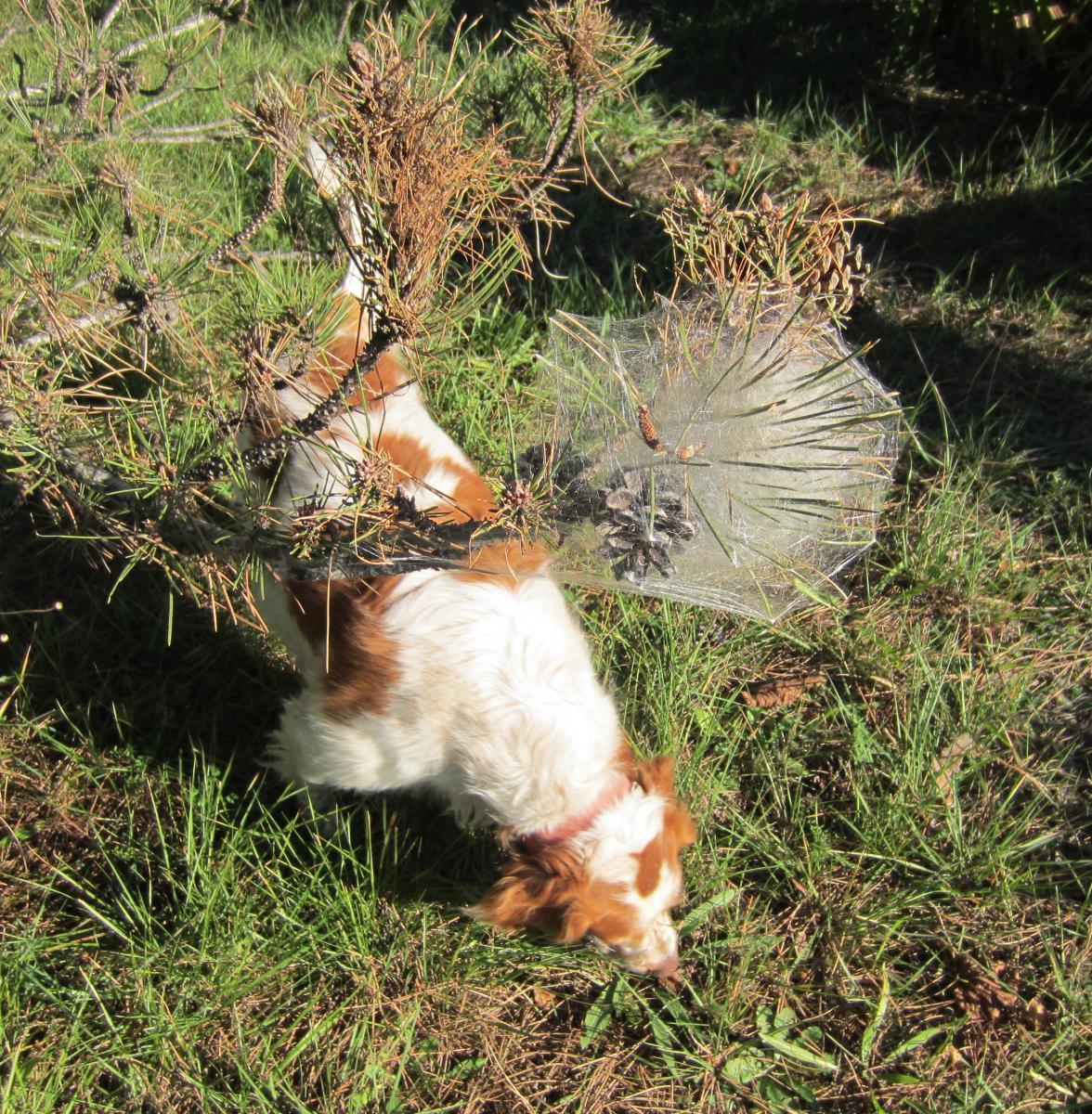 Les chenilles processionnaires du pin chien - Traitement contre les chenilles ...