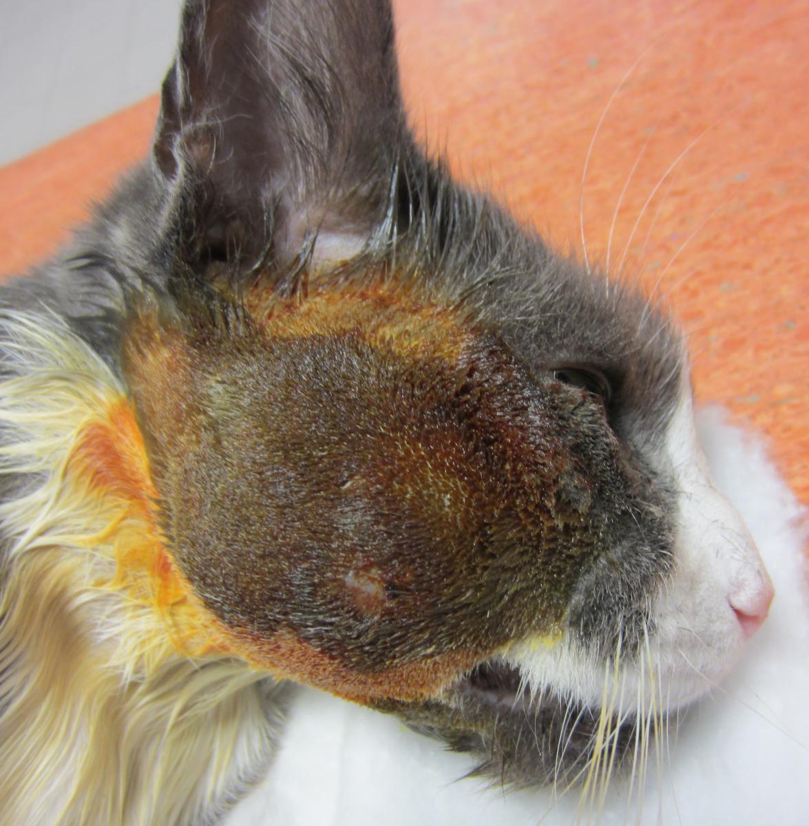 Les abcès de chat - Chat
