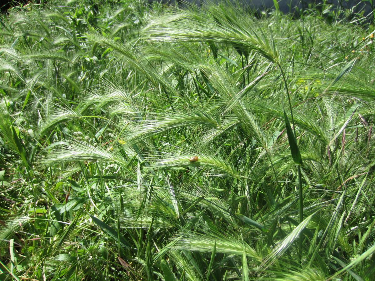 Plante herbe haute best plante exterieur plante verte for Plante herbe haute