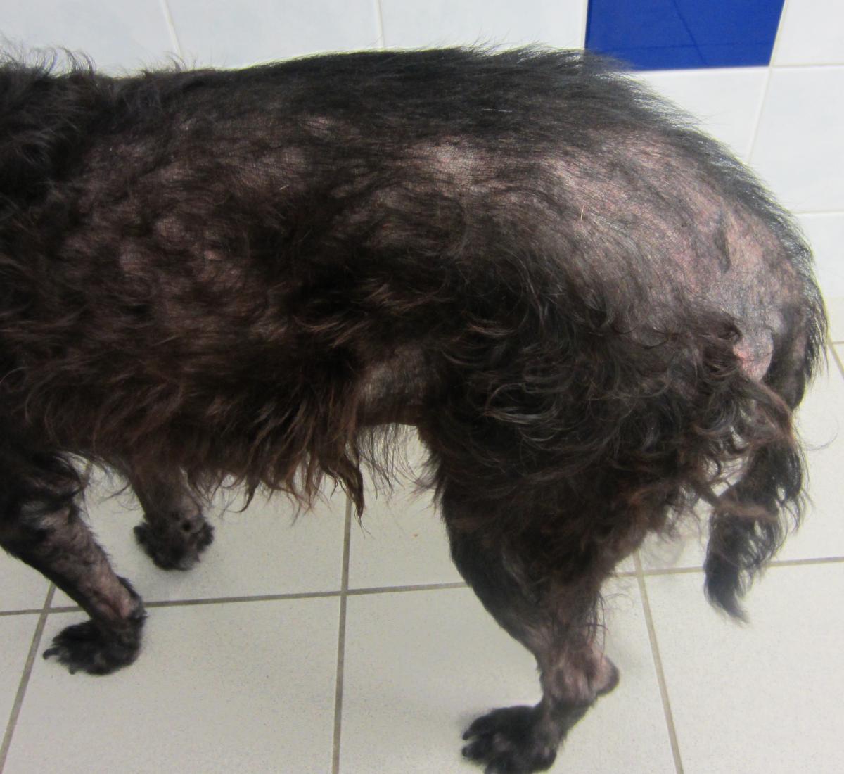 infestation puces chien