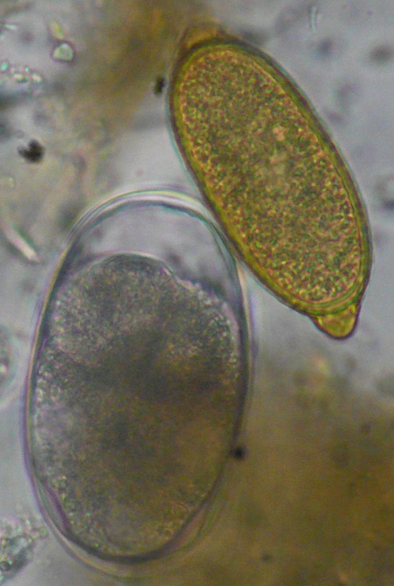 Les parasites internes du chien vers et protozoaires chien - Vers dans les cerises ...