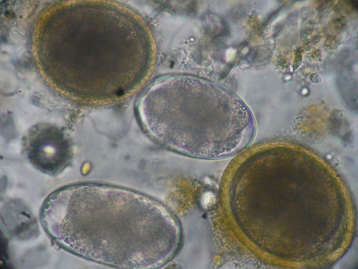 Les meilleur le médicament contre les helminthes et les parasites