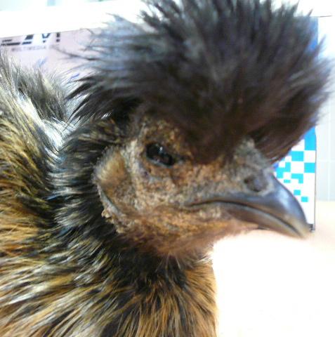 Elle enleve un point noir qui lui bouche un pore sur la for Les maladies des poules