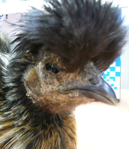 Dermatologie des nac fiche maladies for Maladie poules perte plumes