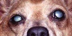 La Cataracte Fiche Maladies